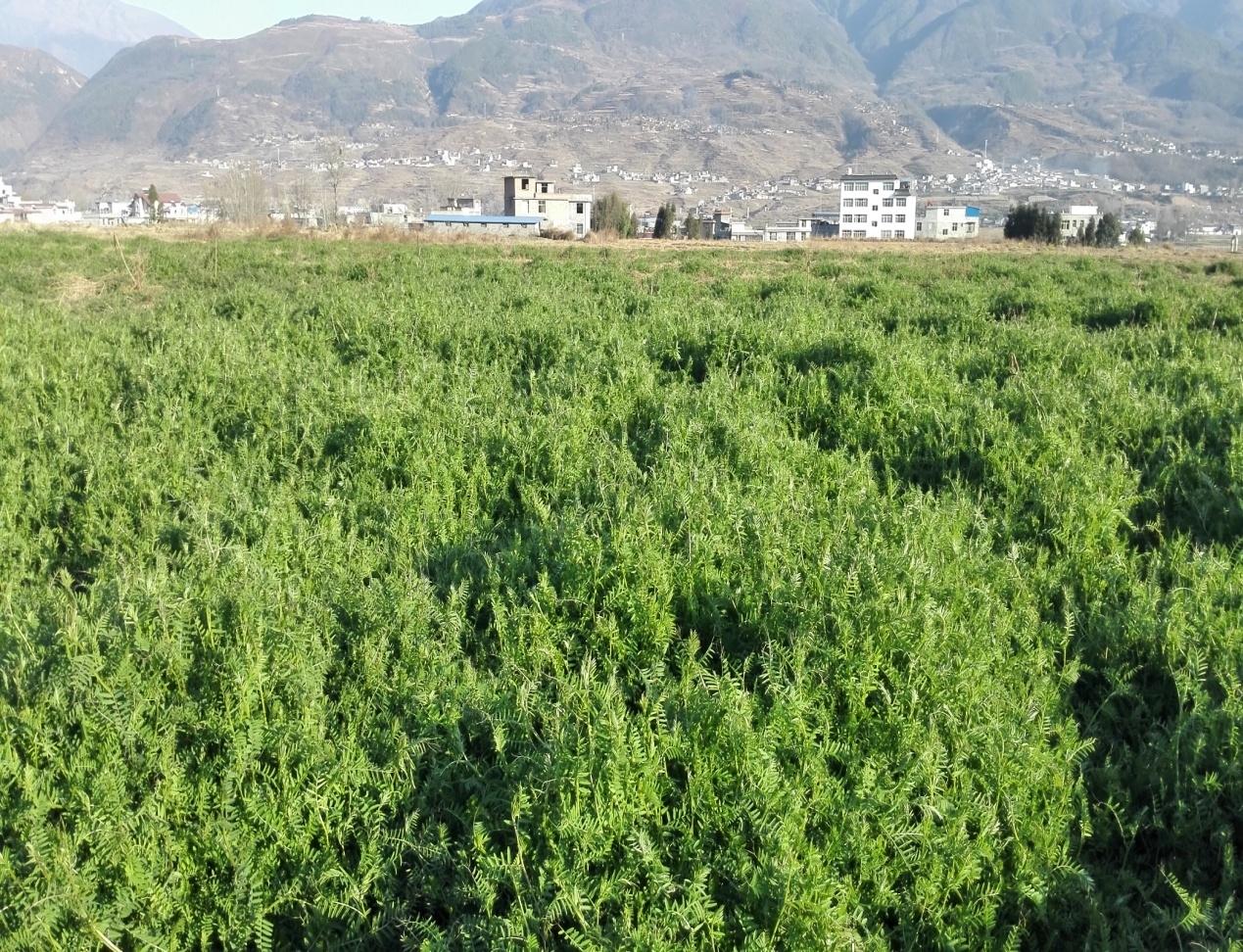州植�y.+yl_凉山州烟草部门大力推进烟田绿色种植管理